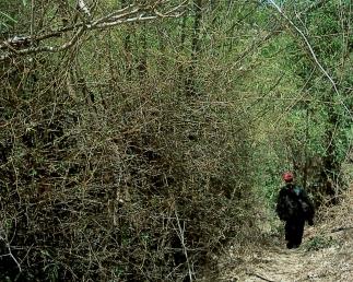 cammina tra kawayan